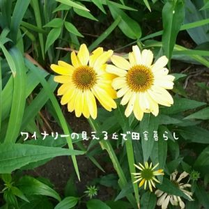 inaka-wineryhills_20170715-flower03