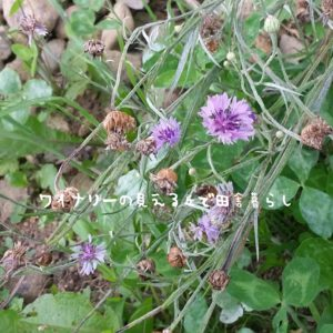 inaka-wineryhills_20170715-flower26