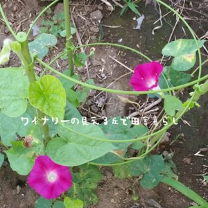 inaka-wineryhills_20170715-flower39