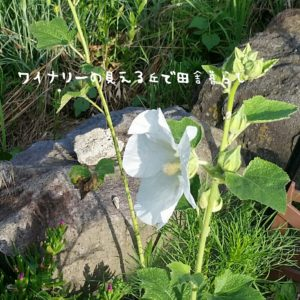 inaka-wineryhills_20170715-flower46