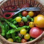 7月16日の朝収穫は草ボウボウの中、たから探しから始まるぞ!どっさりトマトが朝から嬉しい!