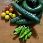 ミニトマト、赤いのと黄色いのと2品種ときゅうり、ししとうが収穫できた7月6日だよ。