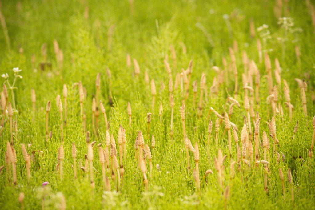 つくしの植え付け・収穫について