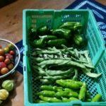 9月20日本日の収穫もたくさんありました!