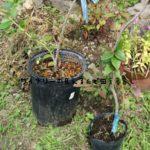 ブルーベリーの植え替えをしました。ピートモスを使用しました。