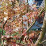 庭のもみじが紅葉したよ。本格的な冬の訪れを感じる庭。