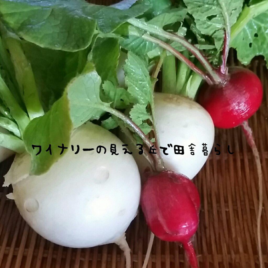 12月24日はカブを収穫。赤い二十日大根も収穫したよ。