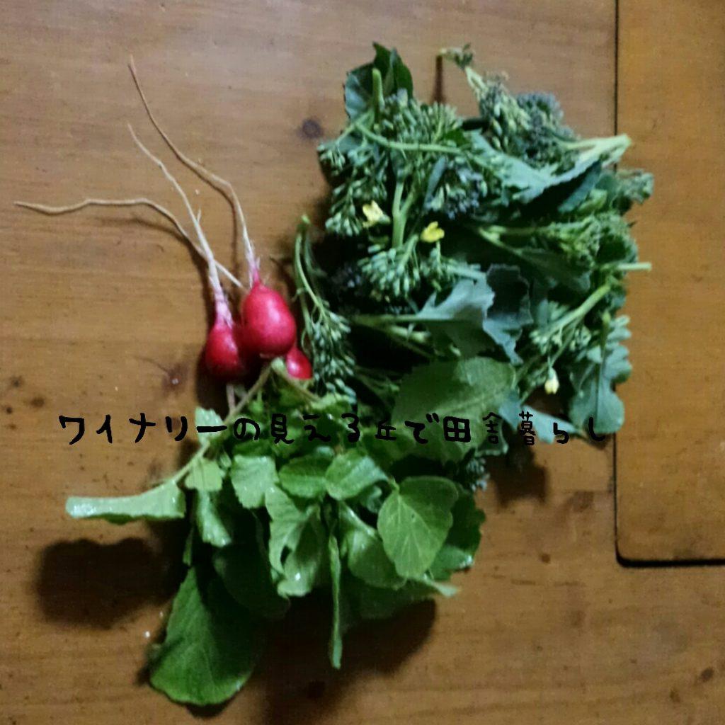 11月28日の収穫は二十日大根とブロッコリー