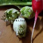 ふきのとう・ふきの植え付け・収穫について