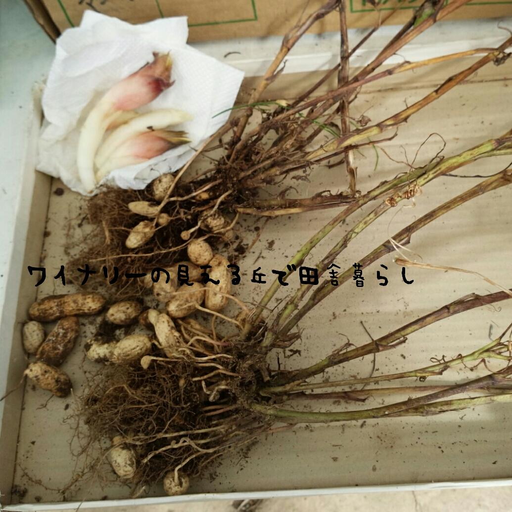 落花生の植え付け・収穫について