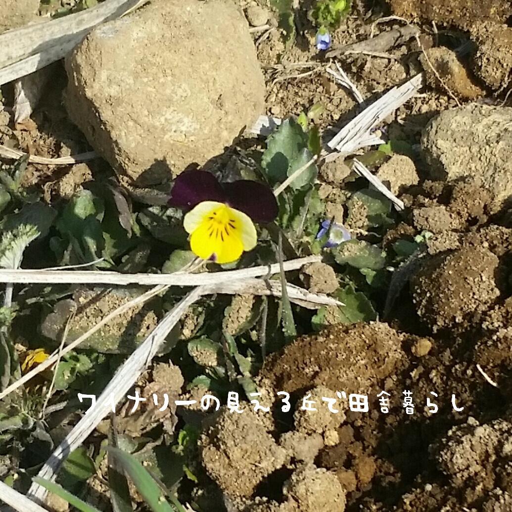 春が芽吹く。2017年田舎暮らし地に到来する春の花。