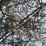 2017年都心部では桜がさいているよ。長野はどう?