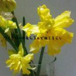 ようやく咲き始めた水仙の花。
