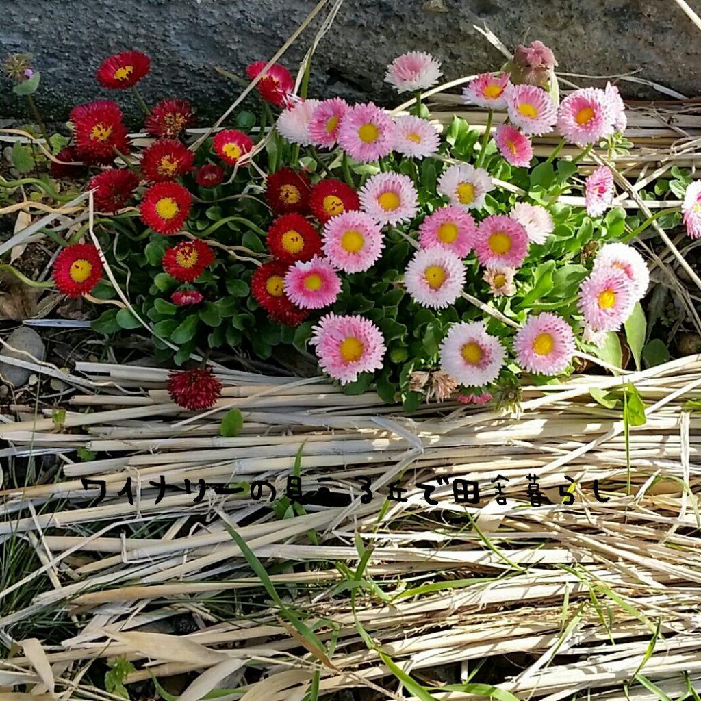 春真っ盛り。長野の田舎暮らし地、GWの庭の花々を紹介するよ。