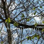 胡桃の木も葉が出てきました。田舎暮らし地の周りは春がいっぱいです。