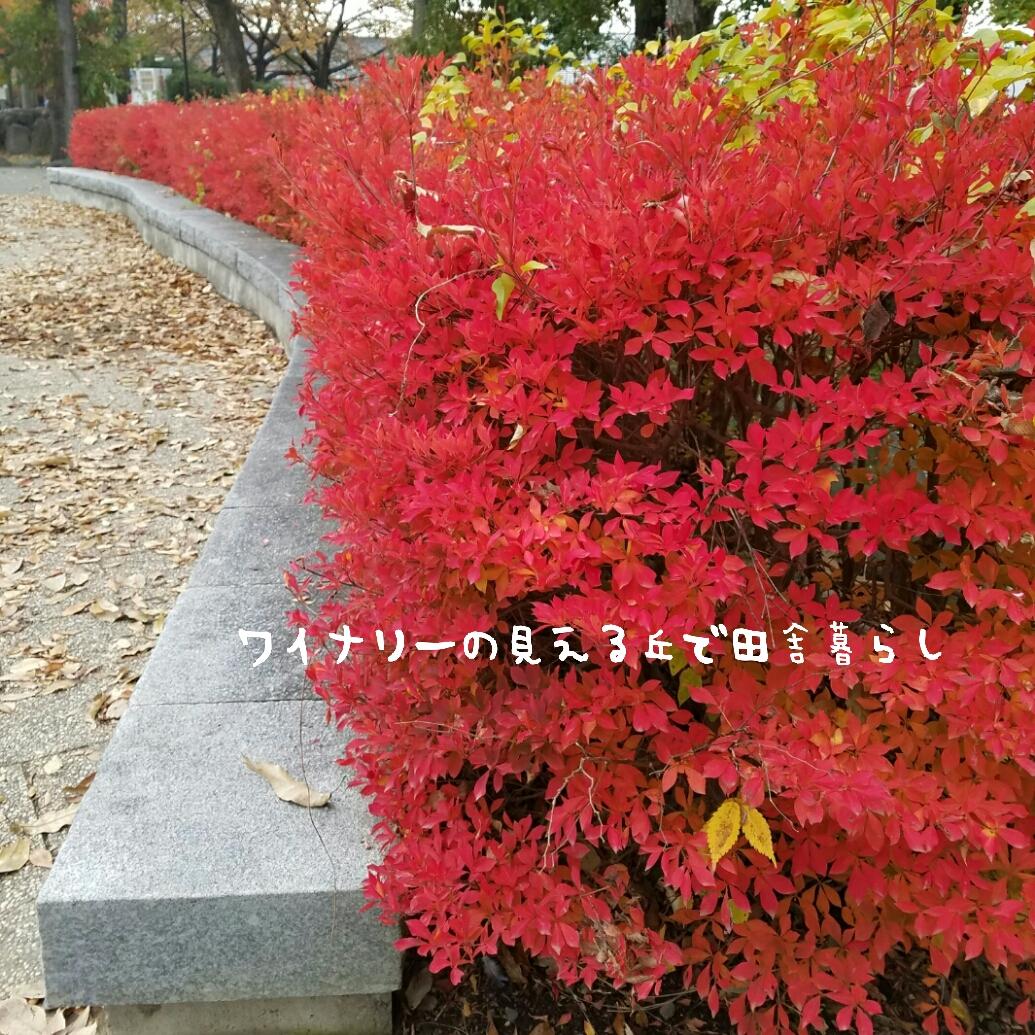 東御中央公園の紅葉。天気が悪くても道山つつじは燃えるような赤でした。