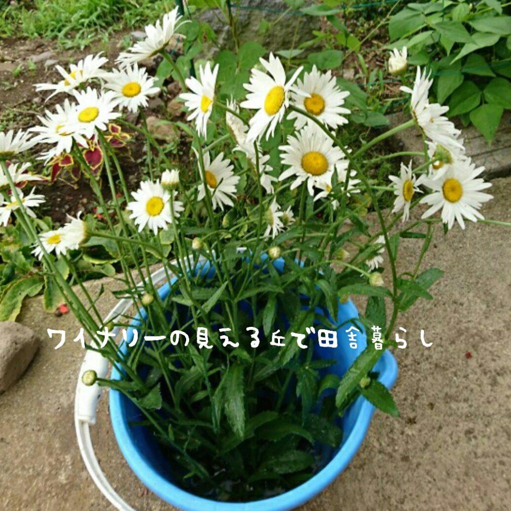 7月8日も昨日採れなかった野菜を収穫。マーガレットも持ち帰り