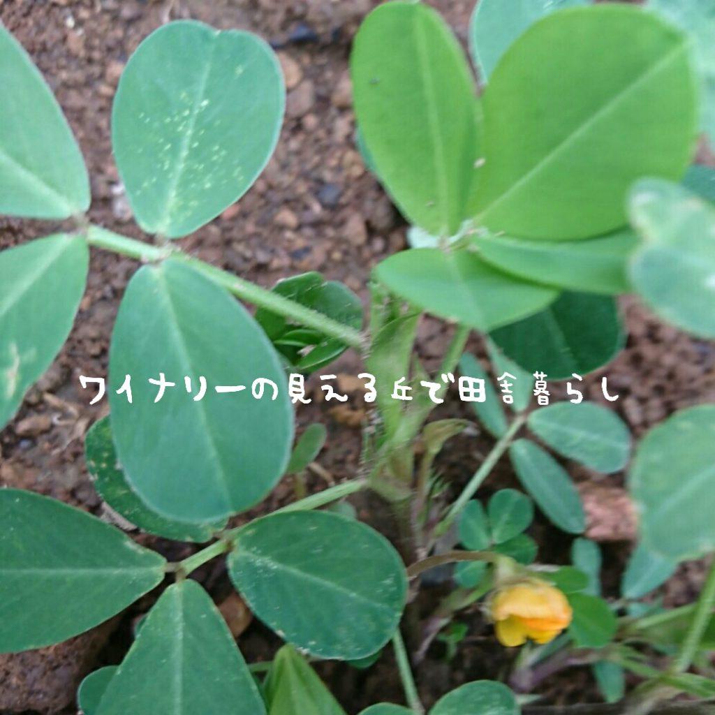 7月26日は夏なのに冬菜を収穫しました
