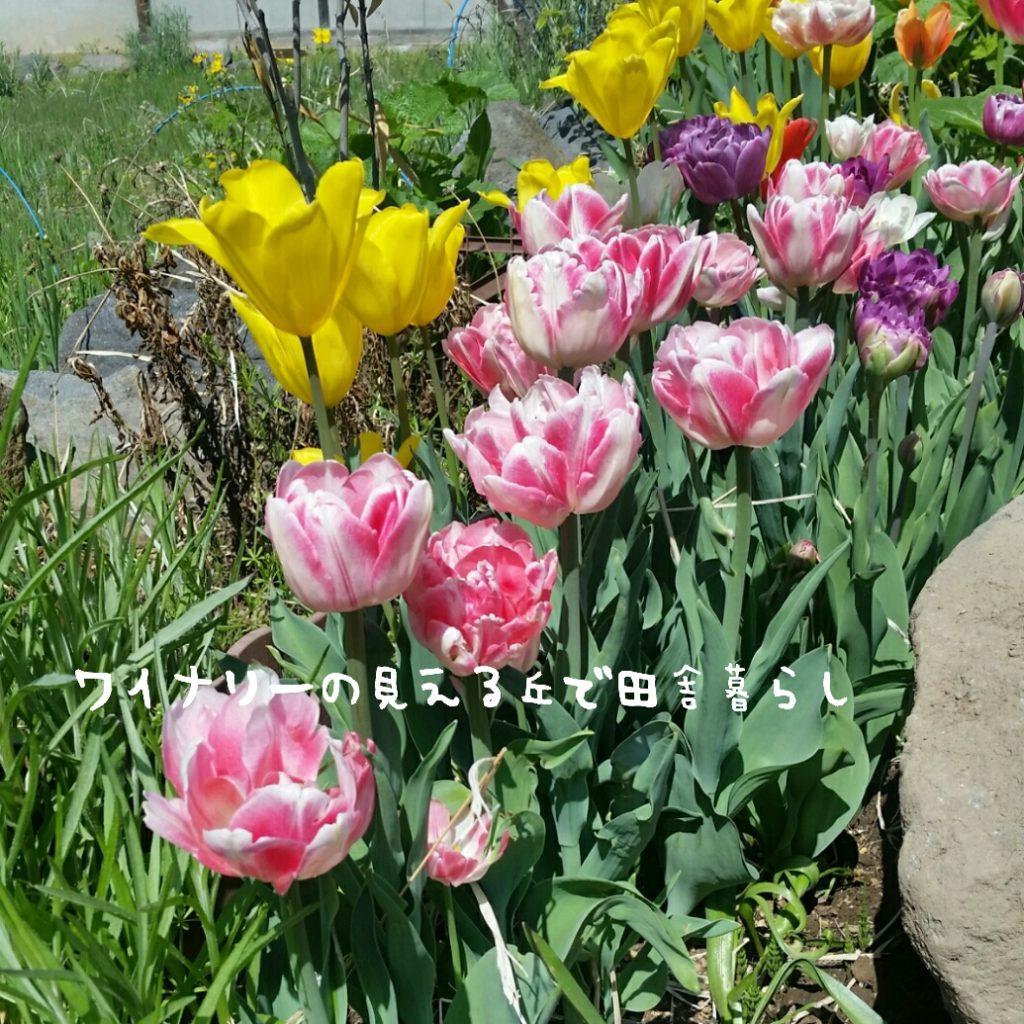 長野県の春2018年。GW前の庭模様。