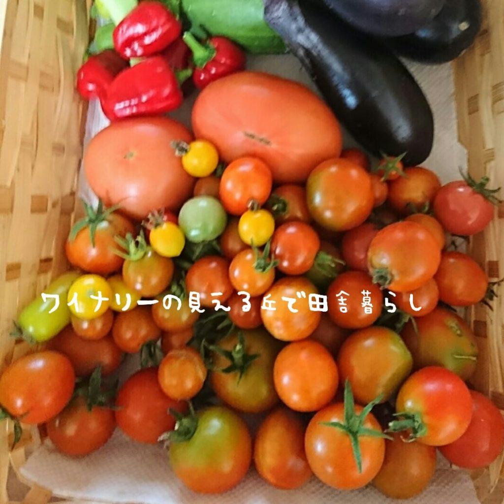 9月6日の収穫もトマトだらけ。