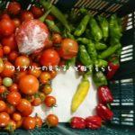 9月17日も順調にトマトを収穫しました。