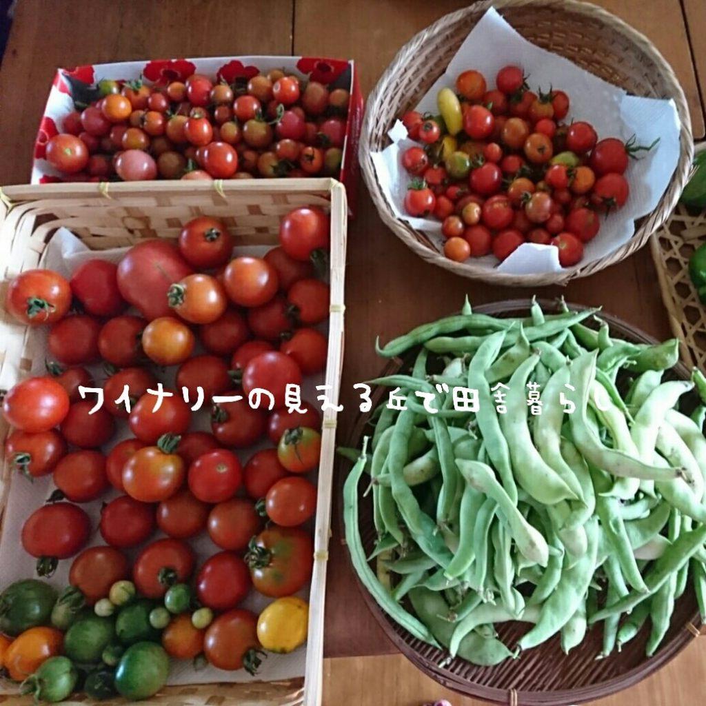 9月24日はお天気長野。大量トマトも太陽に見える!