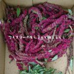 9月29日はアマランサスの実を収穫する。