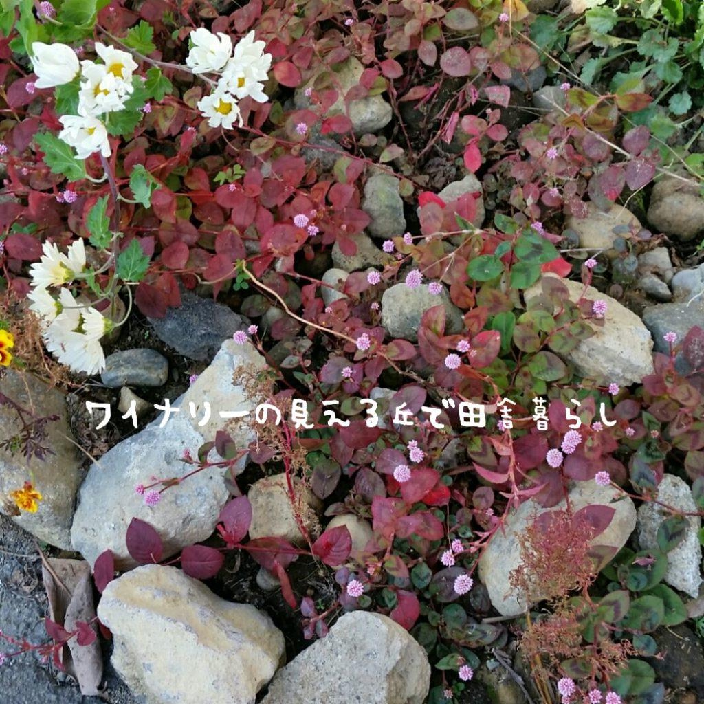 霜が一度降りた11月3日の庭の様子。まだ大きく被害は出ていません。